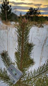 Cassette Tape Pine Tree